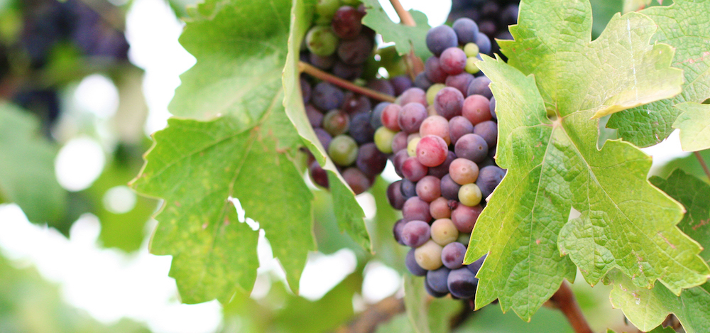 Zinfandel Veraison at Harney Lane Winery